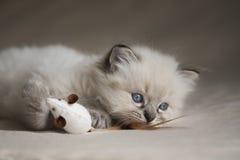 Ragdoll Kätzchen stockbilder