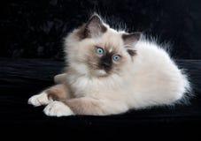 Ragdoll Kätzchen auf schwarzem Samt Lizenzfreies Stockfoto