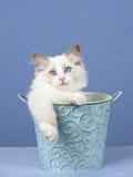 Ragdoll Kätzchen innerhalb der blauen Wanne Lizenzfreies Stockfoto