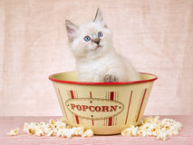 Ragdoll Kätzchen innerhalb der Popcornschüssel Stockfotos