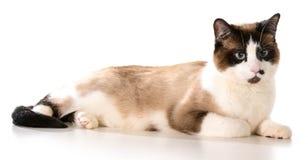 Ragdoll katt Royaltyfri Fotografi
