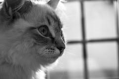 Ragdoll katt Royaltyfria Bilder