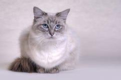Ragdoll katt Arkivbild