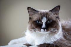 Ragdoll katt Royaltyfria Foton