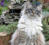 Ragdoll katt Arkivbilder