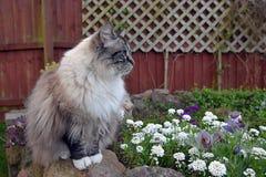 Ragdoll katt arkivfoton