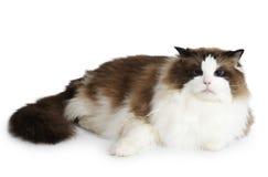 Ragdoll katt framme av en vit bakgrund Fotografering för Bildbyråer