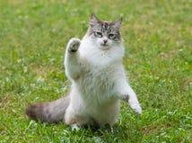 Ragdoll katt i trädgård Royaltyfria Foton