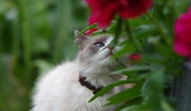Ragdoll katt som sniffar blomman Royaltyfri Bild