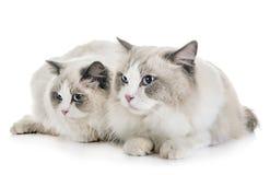 ragdoll katten in studio stock afbeelding