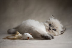 Ragdoll kattunge Royaltyfri Fotografi