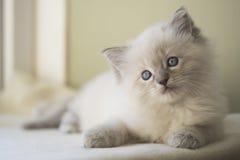 Ragdoll kattunge Arkivbilder