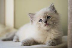 Ragdoll kattunge Arkivfoto