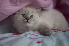 Ragdoll kattunge Royaltyfri Bild