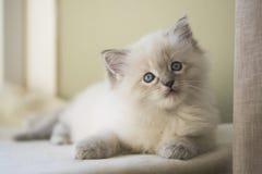 Ragdoll kattunge Royaltyfria Bilder
