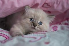 Ragdoll kattunge Arkivfoton