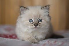 Ragdoll kattunge Fotografering för Bildbyråer