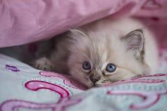 Ragdoll kattunge Royaltyfria Foton