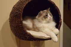 Ragdoll kattunge i korg arkivbilder