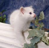 Ragdoll kattunge med blåa ögon Fotografering för Bildbyråer