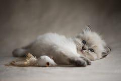 Ragdoll kattunge med leksaken Royaltyfri Foto