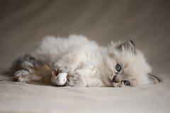 Ragdoll kattunge med leksaken Royaltyfria Bilder