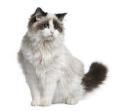 Ragdoll Katze, 7 Monate alte Stockbild