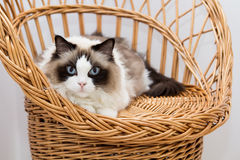 Ragdoll Katze Stockbild