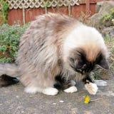 Ragdoll Katze Stockbilder