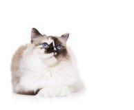 Ragdoll Katze auf Weiß Lizenzfreies Stockfoto