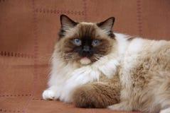 Ragdoll Katze-Dichtungspunkt Stockbild