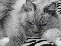Ragdoll Katze mit blauen Augen Stockfotos