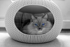 Ragdoll-Katze mit blauen Augen schlafend im gemütlichen Haustierhaus Lizenzfreie Stockfotos