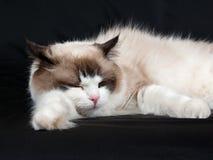 Ragdoll Katzedichtung zweifarbig auf schwarzem Hintergrund Stockfoto