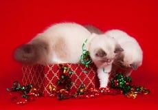 Ragdoll Katzen, die Geschenkkästen nachforschen Stockfoto