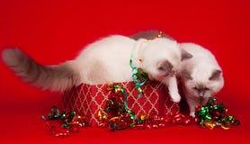Ragdoll Katzen, die Geschenkkästen nachforschen Stockfotos