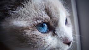 Ragdoll-Katzenabschluß oben Lizenzfreie Stockfotografie