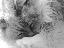 Ragdoll-Katzenschlafen Lizenzfreie Stockbilder
