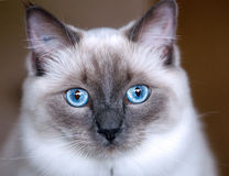 Ragdoll kitten Royalty Free Stock Image