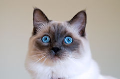 Ragdoll kitten Royalty Free Stock Photo