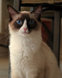 Ragdoll Kitten. Portrait of a purebred, bicolor Ragdoll kitten Stock Image
