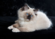 Ragdoll kitten on black velvet. Seal-point Ragdoll kitten on black velvet showing off guard-hairs Royalty Free Stock Photo