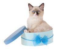 Ragdoll kitten in blue box isolated on white Royalty Free Stock Photos