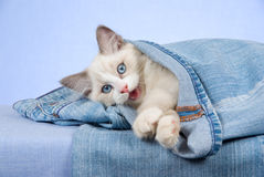Ragdoll kitten in blue jeans denim pants Royalty Free Stock Photos