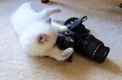 Ragdoll kitten with camera Royalty Free Stock Images