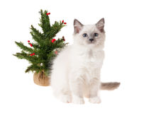 Ragdoll kitten with christmas tree Royalty Free Stock Image