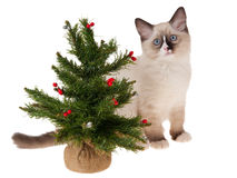 Ragdoll kitten with christmas tree isolated. On white royalty free stock photos