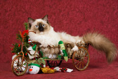 Ragdoll kitten in Christmas wagon Stock Photo