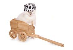 Ragdoll kitten criminal Royalty Free Stock Images