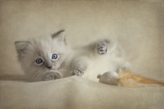 Ragdoll Kitten royalty free stock images